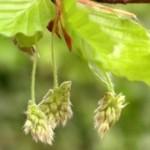 Bükkfa - A tolerancia virága