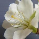 Cseresznyeszilva-A higgadtság virága