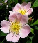 Vadrózsa-Az életkedv virága