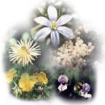 Elsősegély csepp-Bach virágesszencia keverék