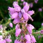 Hangafű -Az indentitás virága