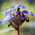 Kékgyökér -Az intuíció virága