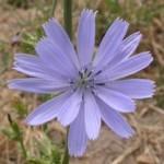 Katángkóró-Az anyaság virága