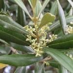 Olajfa-A megújulás virága