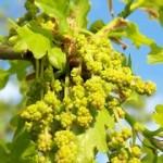 Tölgyfa-A kitartás virága