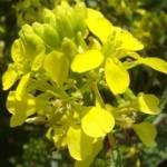 Vadrepce-A fény virága