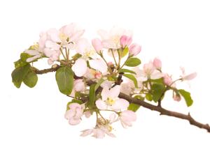 bach virág